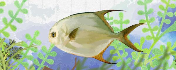 金鲳鱼和鲳鱼一样吗,有什么区别