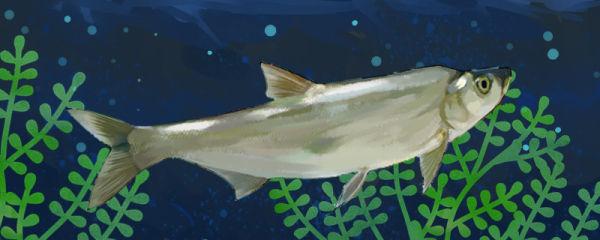 翘嘴鱼是白条鱼吗,和白条鱼有什么区别