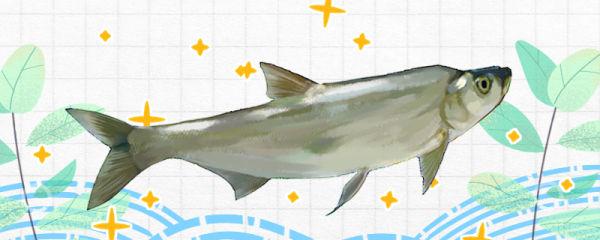 翘嘴鱼是什么鱼,是海鱼还是河鱼