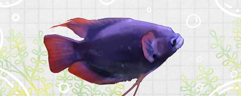 紫红战船鱼好养吗,怎么养