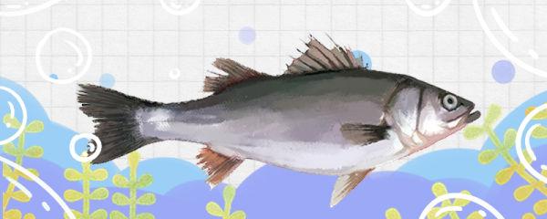 鲈鱼能长多大,能活多久