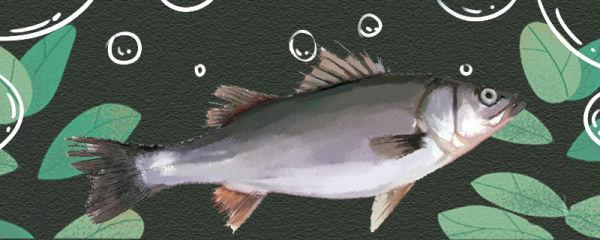 鲈鱼生长在什么地方,可以养殖吗