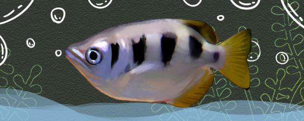 寡鳞射水鱼好养吗,怎么养