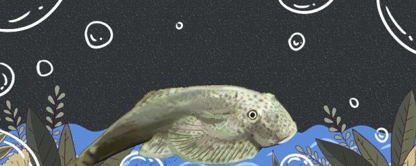 贵州爬岩鳅好养吗,怎么养