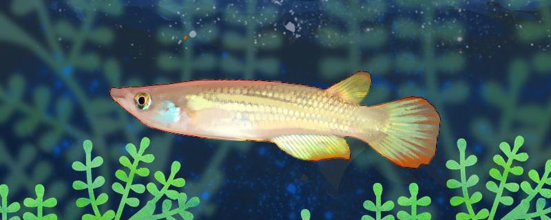 黄金鳉鱼好养吗,怎么养