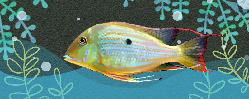 黄纹关刀宝石鱼好养吗,怎么养
