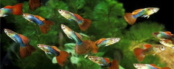 孔雀鱼生完小鱼为什么死了,刚出生的小鱼吃什么