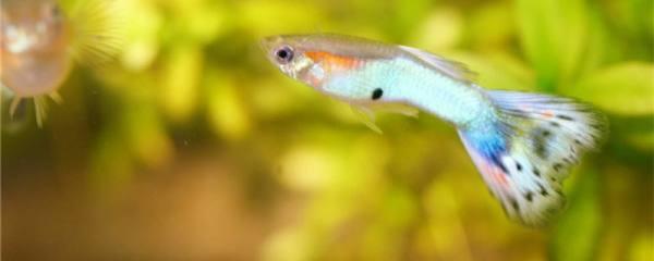 孔雀鱼是上层鱼吗,为什么在水面上游
