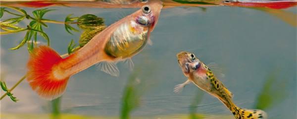 孔雀鱼小鱼苗怎么喂食,多久喂一次