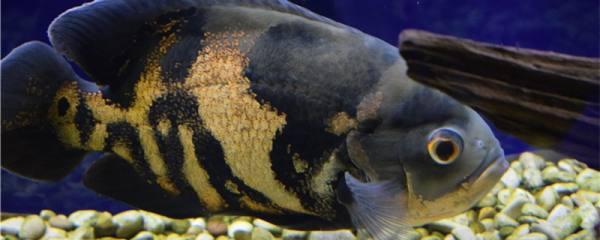 地图鱼不吃颗粒鱼食是什么原因,怎么处理