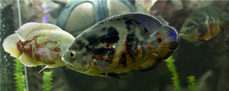 地图鱼不精神不吃是什么原因,怎么处理