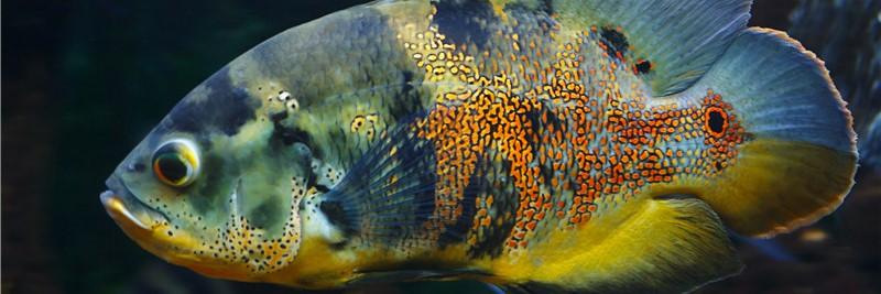 地图鱼吃什么食物比较好,喂养地图鱼的注意事项