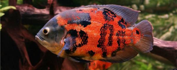 地图鱼和什么鱼混养最好,混养需要注意什么