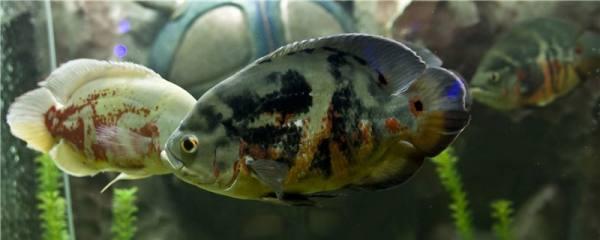 地图鱼眼睛有白膜是什么原因,怎么处理