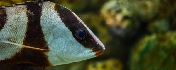 如何抢救翻肚皮的鱼,鱼为什么会失鳔
