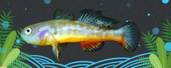 黄肚鱼好养吗,怎么养