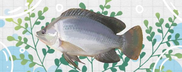 罗非鱼和鲫鱼一样吗,有什么区别