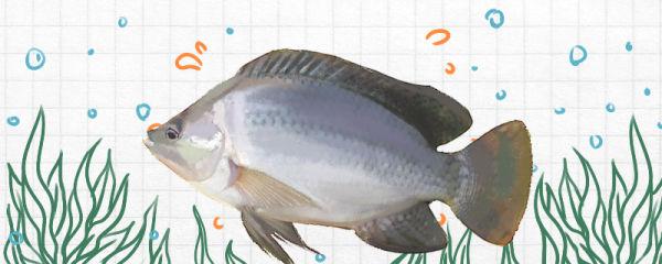 罗非鱼是鲫鱼吗,和鲫鱼有什么区别