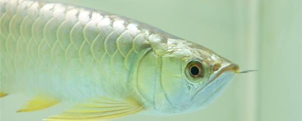 银龙鱼多久能长大,多大能繁殖