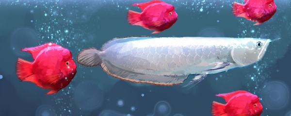 银龙鱼和鹦鹉鱼混养怎样喂食,怎样控制水温