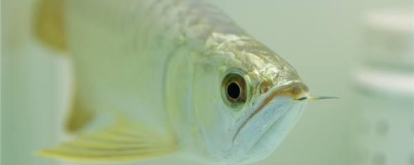 银龙鱼趴缸是怎么回事,怎么处理