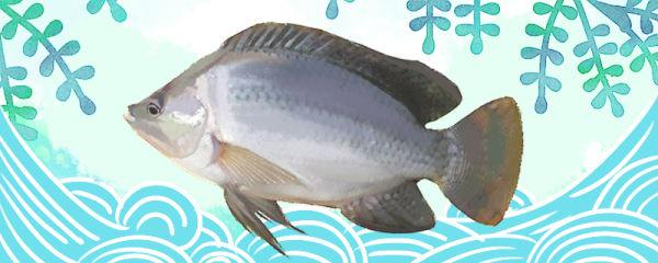 罗非鱼有鱼泡吗,有鱼线吗