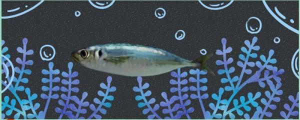巴浪鱼是什么鱼,是海鱼吗