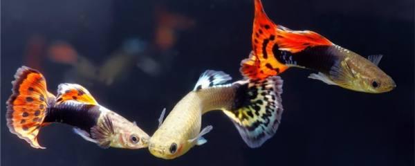 刚出生的孔雀鱼吃什么,饲养时需要注意什么