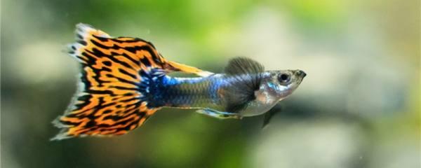 家里养的孔雀鱼吃什么饲料,多长时间喂一次