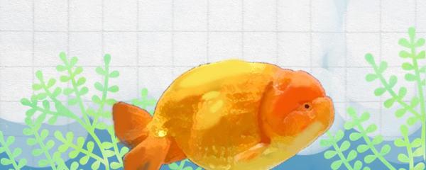 兰寿金鱼几公分才发头,怎么看品相