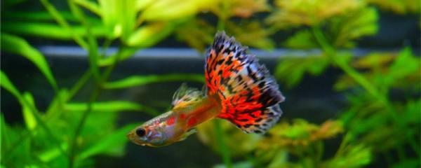 鱼缸的鱼为什么总在上面,为什么会缺氧