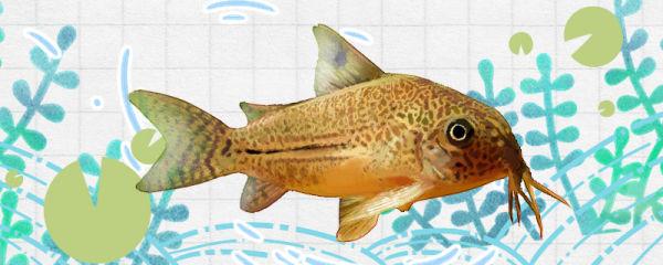 豹鼠鱼好养吗,怎么养