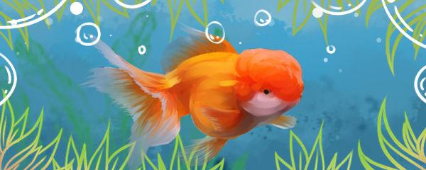 金鱼鱼鳃发白是怎么回事,怎么治疗