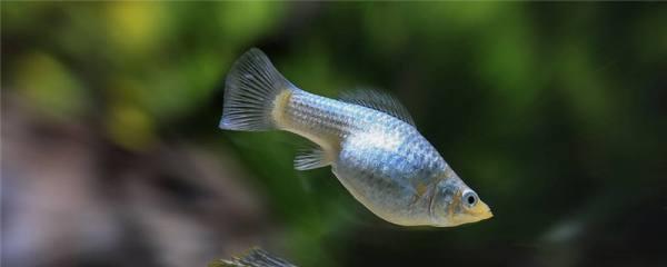 玛丽鱼和孔雀鱼可以混养吗,混养在一起会交配吗