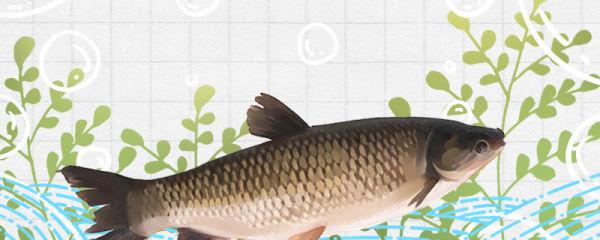 草鱼可以长到多少斤,可以活多少年