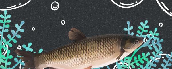 草鱼会自己繁殖吗,为什么不能自己繁殖