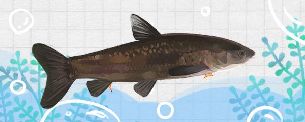青鱼刺多吗,和草鱼哪个刺多