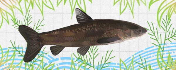 青鱼能长到多少斤,能活多少年