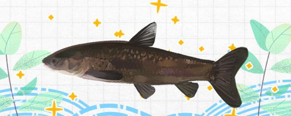 青鱼有多大,有多重