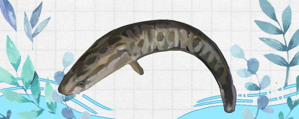 黑鱼能养吗,怎么养