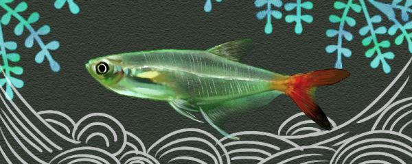 红尾玻璃灯鱼好养吗,怎么养