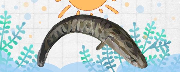 黑鱼好养吗,怎么养活的时间长