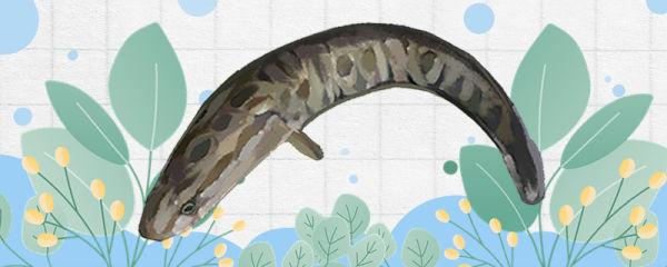 黑鱼是斑鱼吗,和斑鱼有什么区别