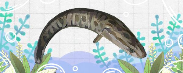 黑鱼是鲶鱼吗,和鲶鱼有什么区别