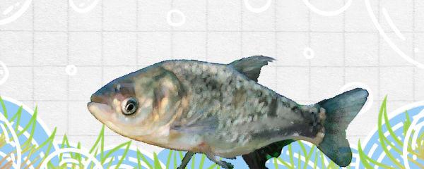 大头鱼吃什么食物,吃蚯蚓吗