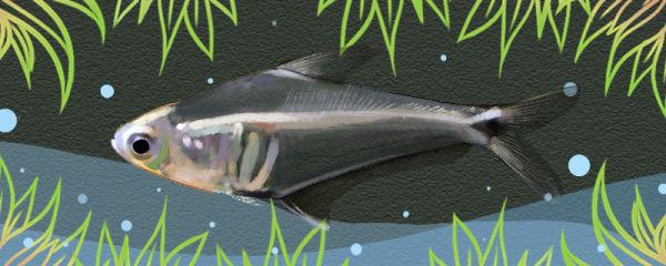 秘鲁水晶灯鱼好养吗,怎么养