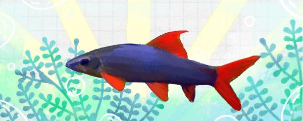 彩虹鲨鱼好养吗,怎么养