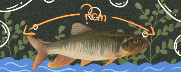 马口鱼能长多大,能活多久