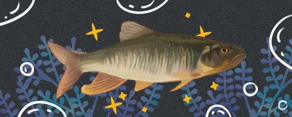 马口鱼是什么鱼,生活在哪里
