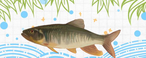 马口鱼寿命有多长,怎么养活得久